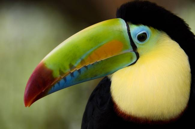 Close up of Keel Billed Toucan