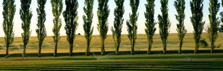Lawn With Sprinklers Poplar Trees and Wheat Field