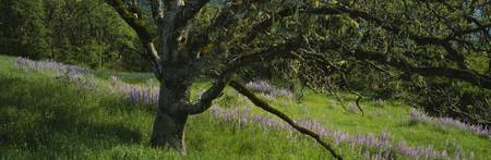 Oak Tree and Lupine Field Redwood National Park C