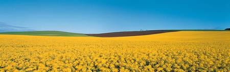 Rape Field Tayside Angus Scotland