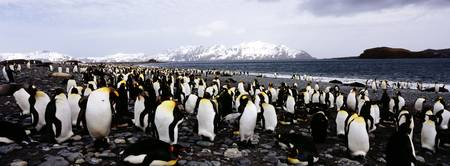 Colony of King penguins Aptenodytes patagonicus o