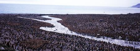 King Penguin Aptenodytes patagonicus Colony Gold