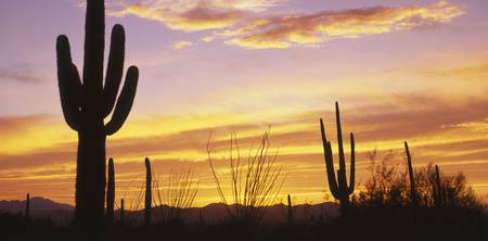 Sunset Saguaro Cactus Saguaro National Park AZ