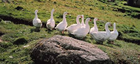 Geese Isle of Lewis Outer Hebrides Scotland