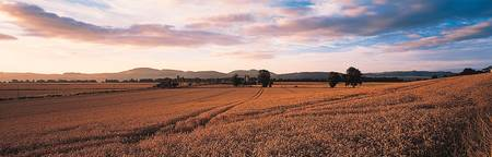 Wheat Field Tayside Scotland