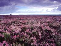 Heather on Moor N Yorkshire England