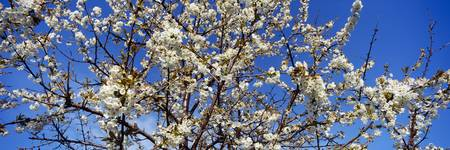 Close-up of a Cherry Blossom tree