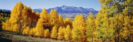 Fall Aspen Trees Telluride CO