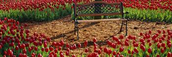 Park bench surrounded by Tulips