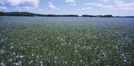 Flax (Linum usitatissimum) growing in a field