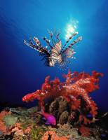 Lionfish (Pteropterus radiata) and Squarespot ant