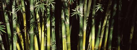 Bamboos in a forest