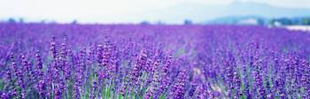 Lavender Field Japan