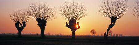 Barren Willows at Sunset Italy