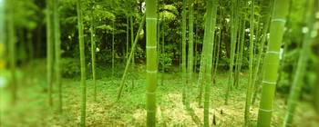 Bamboo trees in a park