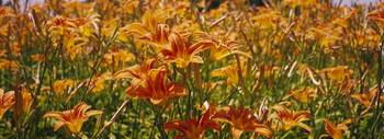 Close-up of Day Lilies (Hemerocallis)