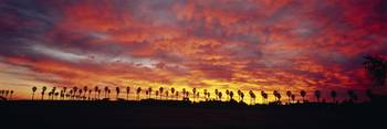 Silhouette of palm trees at sunrise