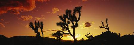 Silhouette of Joshua trees at sunset