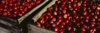 Heap of apples in wooden crates