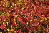 Autumn Color Poison Sumac Plant