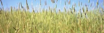 Tall grass in field