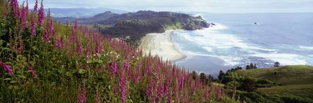 Foxgloves at Cascade Head Tillamook County OR