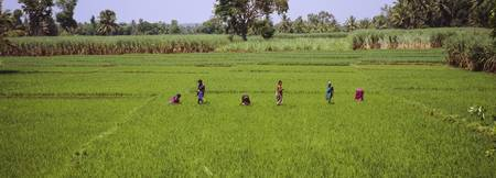 Group of women working in a rice field
