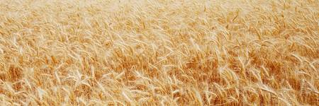 Wheatfield The Palouse Spokane Co WA