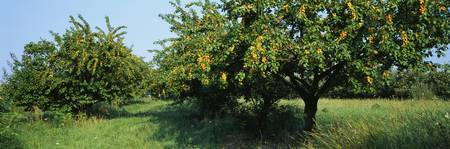 Apricot Tree In An Orchard
