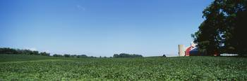 Green soybean crop in a field