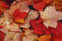 Raindrops On Fallen Autumn Color Maple Tree Leave