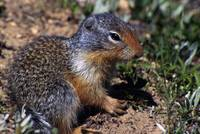 Columbian Ground Squirrel (Citellus Columbianus)