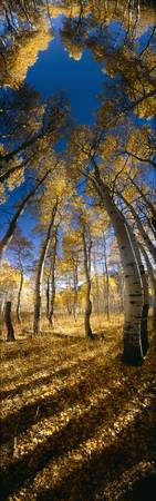 Low angle view of Aspen trees in the forest