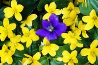 Single Blue Violet Flower (Viola Adunca) In Bloom