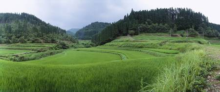 Rice paddy in a field