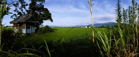 Rice paddies in a field
