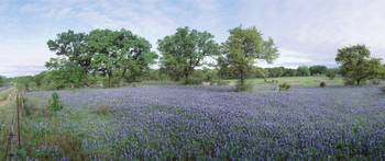 Field of Bluebonnet flowers