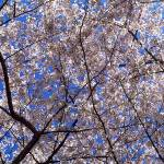 """Cherry Trees Washington DC"" by Panoramic_Images"