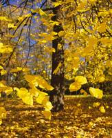 Close-up of yellow leaves of a tree