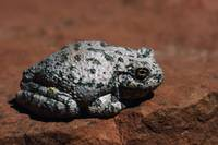 Southwestern Toad (Bufo Microscaphus) On Rock