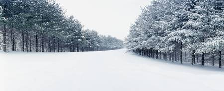 Pine treelined road covered with snow