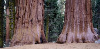 Sierra Trees Giant Forest Sequoia National Park C