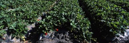 Strawberry Crop CA