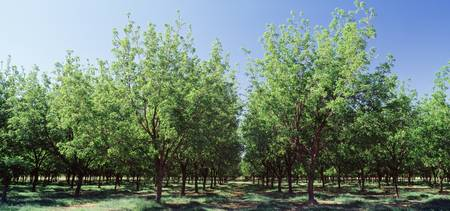 Pecan trees Tularosa NM