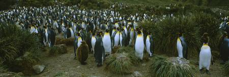 High angle view of a colony of King penguins
