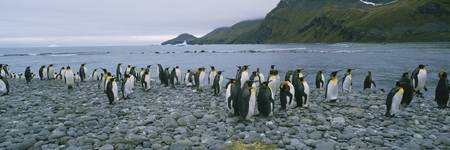 Colony of King penguins on the beach