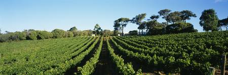 Panoramic view of vineyards