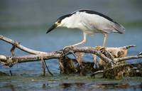 Black-Crowned Night Heron On Perch In Water