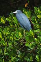 Little Blue Heron Bird (Egretta Caerulea) On Perc