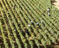 High angle view of manual workers picking grapes